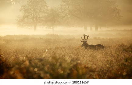 Red deer Stag in the early morning misty braken