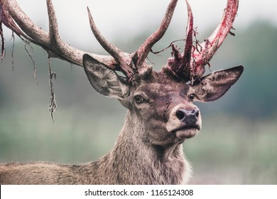 Red deer stag with fresh swept bloody antler. Headshot.