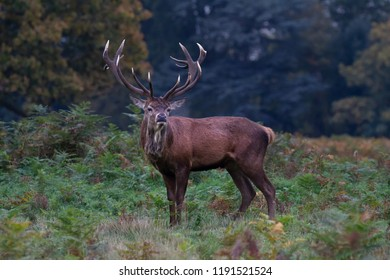 A Red Deer stag with full antlers in profile looking towards the camera in trees and foliage in early morning dim light.