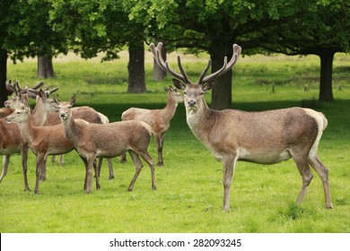 A red deer stag and a herd of does grazing in Richmond park, London