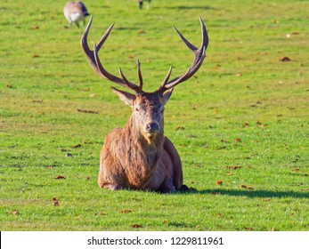 Red Deer stag, laying in the autumn sunshine looking directly at the camera. Close up
