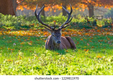 Red Deer stag, laying in the sunshine looking directly at the camera against an autumn backdrop