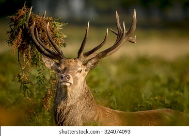 Red deer stag looking at the camera
