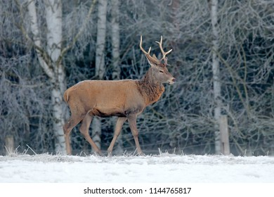 Red deer stag, majestic powerful adult animal with antlers outside wintery forest, Sumana NP, Czech. Wildlife from Europe.