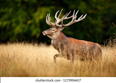 Red deer stag, majestic powerful adult animal outside autumn forest. Big animal in the nature forest habitat, Denmark. Wildlife scene form nature, rutting time.