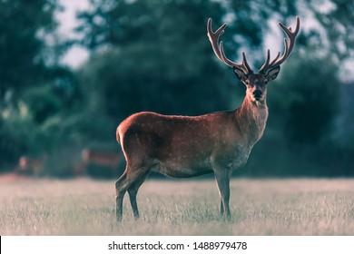 Red deer stag in meadow in evening sunlight.