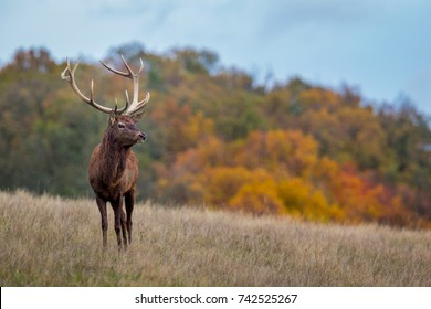Red Deer stag portrait