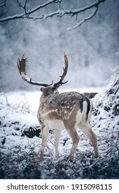 Red deer stag resting in fern on a frosty snowy Sunday winter morning.