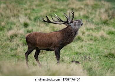 Roter Hirsch - Stachelrost während der Herbstruhe