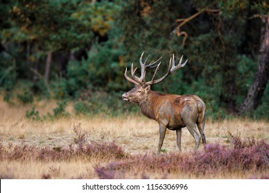 Red deer stag in rutting season on the heather fields in the forest of the Hoge Veluwe National Park in the Netherlands