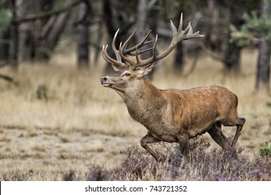 Red Deer stag in rutting season in National park Hoge Veluwe - The Netherlands