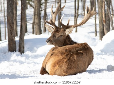 Red deer stag sitting in the winter snow in Canada