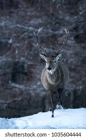 Red Deer Stag in snow with snowy woodland background.