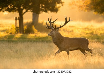Red deer stag in soft morning light