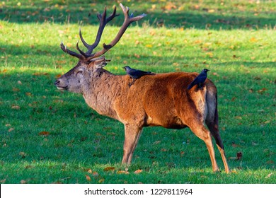 Red Deer stag standing in the autumn sun with two Carrion Crows on its back