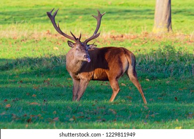A Red Deer stag stands looking towards camera with tongue out.