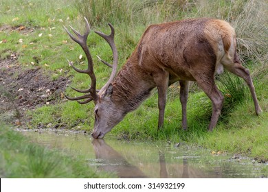 A Red Deer stag takes a drink from a woodland pool.
