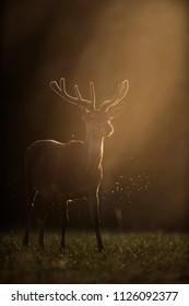 Red deer stag with velvet antler in backlight of sun.