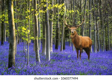 Red deer stag in vibrant Bluebell landscape in Spring beech tree forest at sunrise