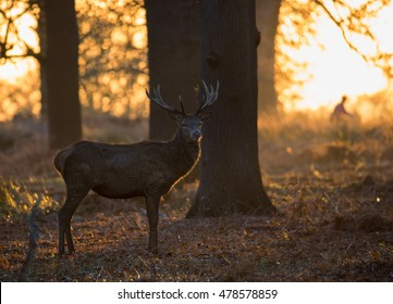 A red deer stag waits in the sunset of Richmond park during the autumn in London.