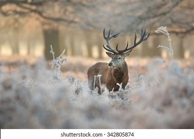 Red deer stag in winter