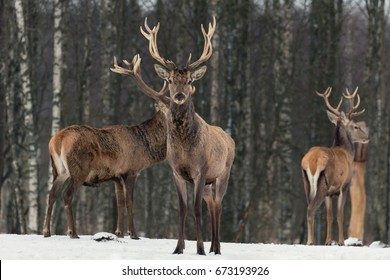 Red Deer Stag In Winter. Winter Wildlife Landscape With Noble Deer (Cervus Elaphus). Deer With Large Branched Horns On The Background Of Winter Forest.  Stag Close-Up, Artistic View. Three Trophy Deer