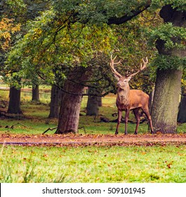 Red deer stag withg large antlers during the rutting season at Tatton Park, Knutsford, Cheshire, UK