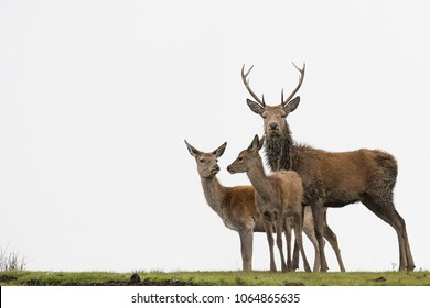 Red deer stag and young on Exmoor