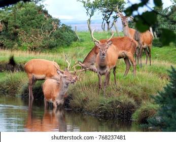 Red deer stags beside and in Lochranza burn,Lochranza,Isle of Arran, Scotland