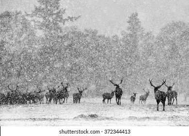 Red Deer Stags (Cervus elaphus) in the Scottish Winter Snow. (black and White Version)