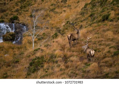 Red deer stags on moorland in the Scottish Highlands of Sutherland Scotland UK
