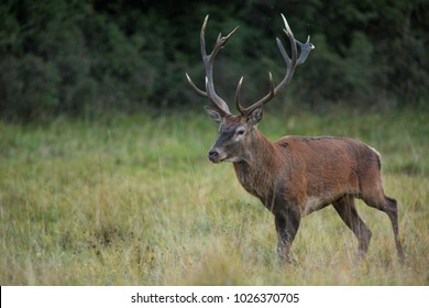 Red deer standing on grass beside tree with forest in background. Wildlife in natural habitat