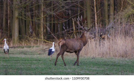 Red Deer and Stork