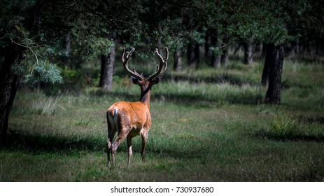 Red deer walking in the forest