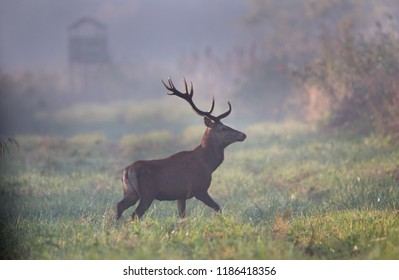 Red deer walking in forest on foggy morning. Wildlife in natural habitat