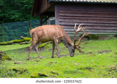 red deer in a wild park in germany