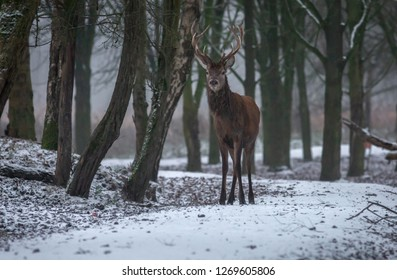 Red Deer winter Europe