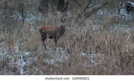 Red Deer winter Europe