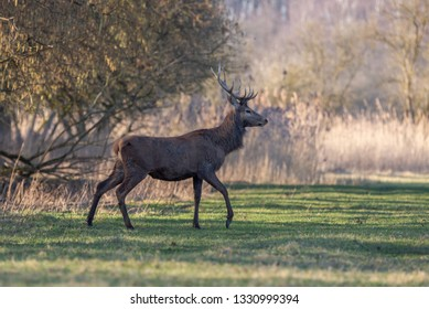 Red Deer Winter Netherlands