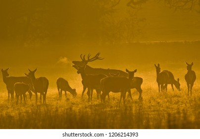 Red deer,Bradgate park Leicestershire,Autume