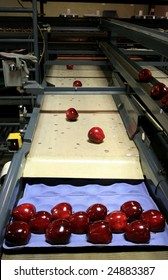 Red Delicious Apples on packing tray line