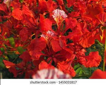 Red  Delonix regia flower (Royal Poinciana, Flamboyant Tree, Flame Tree, Peacock Flower, Gulmohar) in bloom.