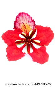 Red  delonix regia on white background
