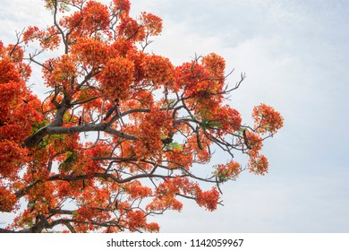 Red delonix regia (Pheonix) flower branch isolated on cloudy  background