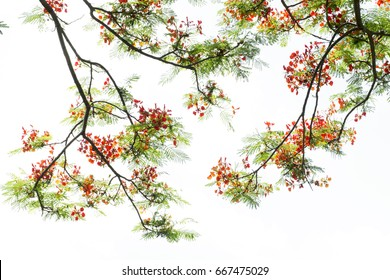 Red delonix regia (Pheonix) flower branch isolated on white background