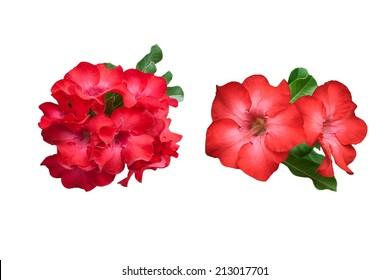 Red Desert Flower, adenium isolated on white background
