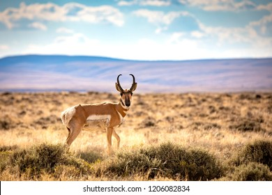 The Red Desert is a high altitude sagebrush steppe and dry landscape in southern Wyoming. A pronghorn antelope cross the desert.