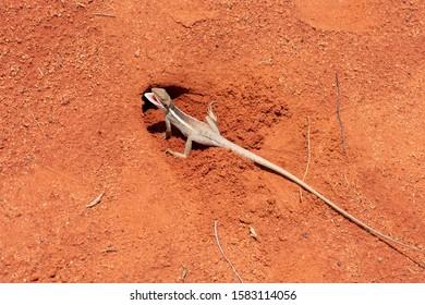 Red desert lizard 2, Northern Territory Australia