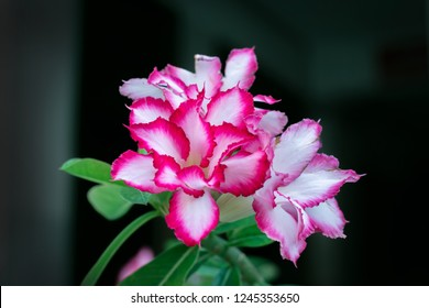 Red Desert Rose or Impala Lily or Mock Azalea with green leaves. Somewhere call Adenium obesum flowers.