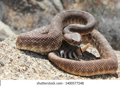 Red Diamond Rattlesnake (Crotalus ruber) Venomous North American Pit Viper